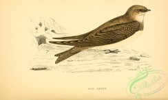 swallows_and_swifts-00238 - Sand Martin