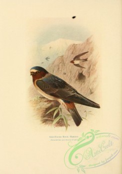swallows_and_swifts-00243 - Red-faced Rock Martin, petrochelidon pyrrhonota