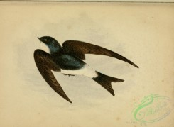 swallows_and_swifts-00251 - MARTIN