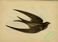 swallows_and_swifts-00254 - SWIFT
