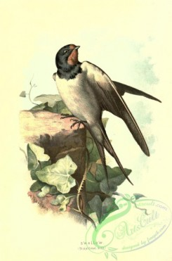 swallows_and_swifts-00256 - SWALLOW