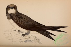 swallows_and_swifts-00270 - Alpine Swift