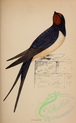 swallows_and_swifts-00275 - Swallow