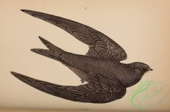swallows_and_swifts-00276 - Swift