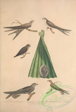 swallows_and_swifts-00283 - Balassian Swift, Allied Swift, Chinese Martin, cypselus palmarum, cypselus affinis, hirundo chinensis