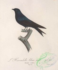 swallows_and_swifts-00288 - hirundo caerulea
