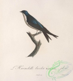 swallows_and_swifts-00291 - Tree Swallow
