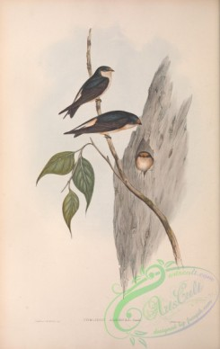 swallows_and_swifts-00301 - Tree Martin, collocalia arborea