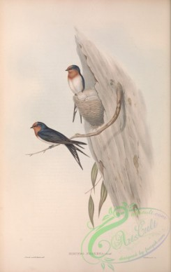 swallows_and_swifts-00302 - Welcome Swallow, hirundo neoxena