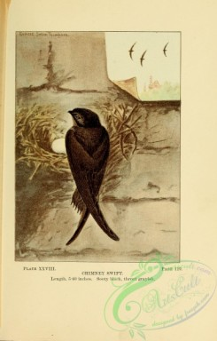 swallows_and_swifts-00313 - 028-Chimney Swift