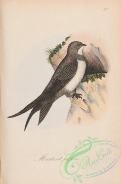 swallows_and_swifts-00325 - 032-Alpine Swift, cypselus alpinus