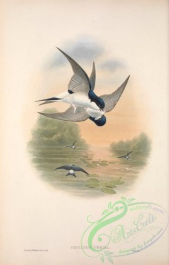 swallows_and_swifts-00334 - 006-House Martin, chelidon urbica