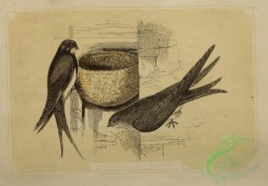 swallows_and_swifts-00339 - Swalow, Swift