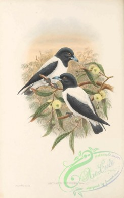 swallows_and_swifts-00341 - 020-Bismarck Woodswallow, artamus insignis