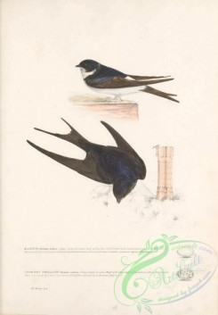 swallows_and_swifts-00345 - Martin, hirundo urbica, Chimney Swallow, hirundo rustica