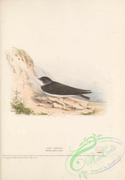swallows_and_swifts-00346 - Sand Martin, hirundo riparia