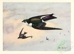 swallows_and_swifts-00349 - Violet-green Swallow