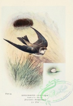 swallows_and_swifts-00357 - Sand-Martin, cotile riparia