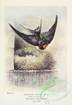swallows_and_swifts-00358 - Swallow, hirundo rustica