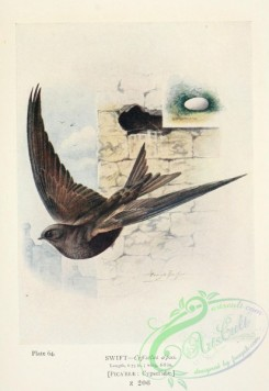 swallows_and_swifts-00359 - Swift, cypselus apus