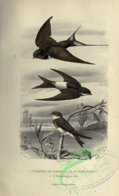 swallows_and_swifts-00362 - Swallow