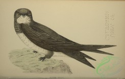 swallows_and_swifts-00363 - Alpine Swift
