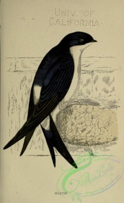 swallows_and_swifts-00364 - Martin