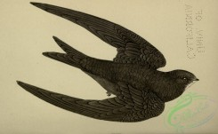swallows_and_swifts-00369 - Swift