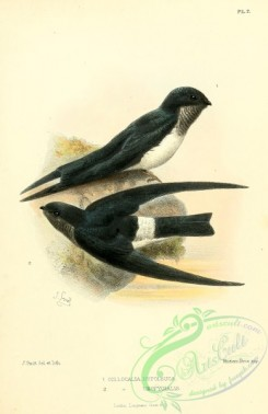 swallows_and_swifts-00372 - collocalia hypoleuca, collocalia uropygialis