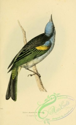 tanagers-00018 - Yellow-shouldered Tanager