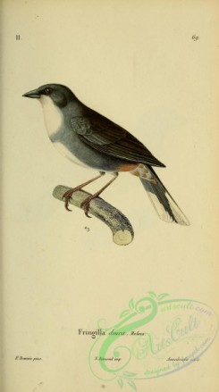 tanagers-00040 - Common Diuca-Finch