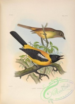 tanagers-00046 - Black-throated Shrike-Tanager