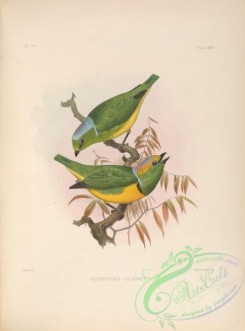 tanagers-00047 - chlorophonia calophrys