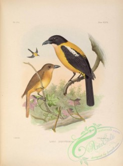 tanagers-00049 - White-throated Shrike-Tanager