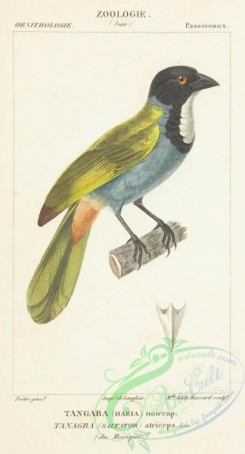 tanagers-00053 - Black-headed Saltator
