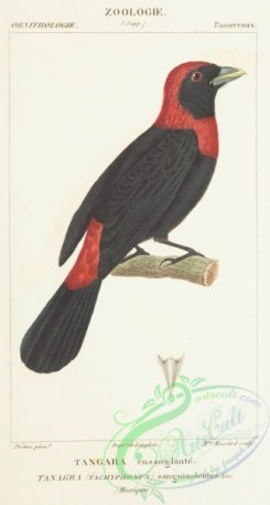 tanagers-00054 - Crimson-collared Tanager