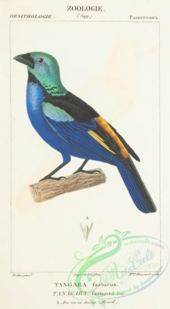 tanagers-00056 - Seven-coloured Tanager