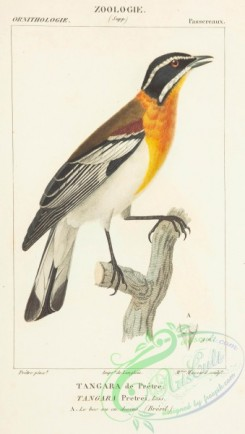 tanagers-00057 - Western Spindalis