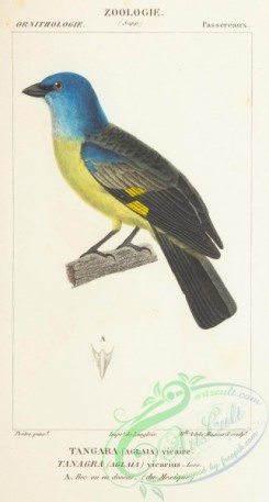 tanagers-00058 - Yellow-winged Tanager