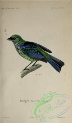 tanagers-00102 - Beryl-spangled Tanager
