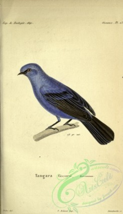tanagers-00112 - Blue-and-black Tanager
