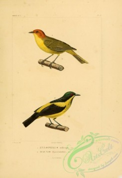 tanagers-00122 - hylophilus ruficeps, Yellow-bellied Dacnis