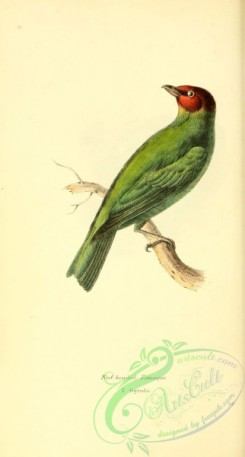 tanagers-00137 - Red headed Tanager