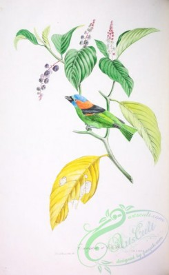 tanagers-00179 - Red-necked Tanager