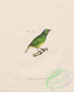 tanagers-00201 - 014-Blue-crowned Chlorophonia, euphonia occipitalis