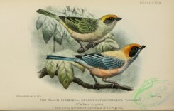 tanagers-00211 - Black-cheeked or Lesser Rufous-necked Tanager, calliste cayana