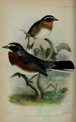 tanagers-00243 - Black-and-chestnut Warbling-Finch, poospiza whitii