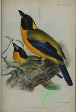 tanagers-00248 - Black-chinned Mountain-Tanager, tanagra notabilis