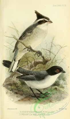 tanagers-00263 - coryphospingus pusillus, Black-capped Warbling-Finch, poospiza melanoleuca