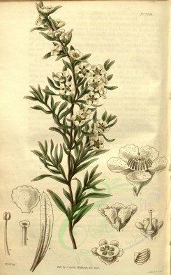 tea-00013 - 2695-leptospermum flavescens, Yellowish South-Sea Myrtle [2090x3362]